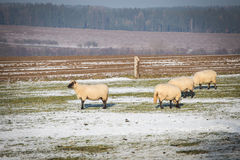 Flock of sheep. In winter Stock Images