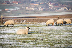 Flock of sheep. In winter Royalty Free Stock Photo