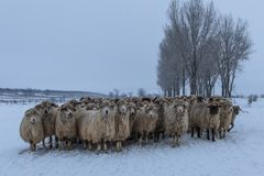 Flock of sheep in winter Stock Image