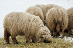 Flock of sheep in winter on farm. Sheep in the snow. Stock Photos