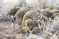 Flock of sheep in winter Stock Images