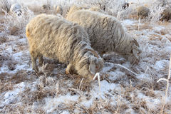 Flock of sheep in winter. On the morning stock images