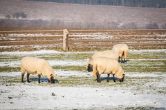 Flock of sheep in winter Royalty Free Stock Photo