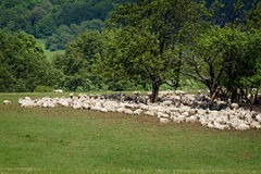 Flock of sheepes Royalty Free Stock Image
