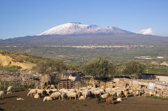 Flock In A Sheepfold Royalty Free Stock Photography