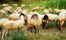 Flock of sheeps. Sheeps on the green farm meadow Royalty Free Stock Photo
