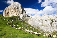 The Flock of Sheeps. The flock of grazing sheeps on the mountain meadow, Julian Alps, Slovenia Stock Photo