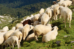 The Flock of Sheeps. On the mountain meadow, Julian Alps, Slovenia Stock Photography