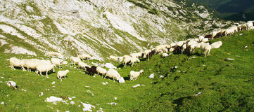 The Flock of Sheeps Stock Photos