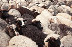 Flock of sheeps Royalty Free Stock Images