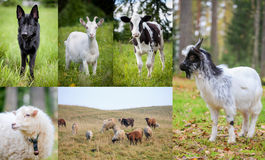 Flock of sheeps on autumn meadow Stock Photo