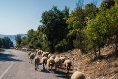 Flock of sheeps blocked a road to cars. A lot sheeps graze on a meadow of mountain at sunset of Greece. Flock of sheeps blocked a road to cars. A lot sheeps Royalty Free Stock Photo