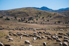 Flock of sheeps blocked a road to cars. A lot sheeps graze on a meadow of mountain at sunset of Greece. Flock of sheeps blocked a road to cars. A lot sheeps Stock Image