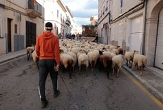 Flock of sheeps carried by shepherd at Saint anthony animals blessing day. A flock of sheeps walks the streets of the village before being blessed by a priest in Stock Images