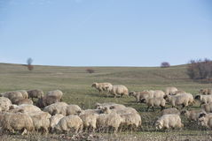 Flock of sheeps in the country of Viscri, Transylvania Royalty Free Stock Photography