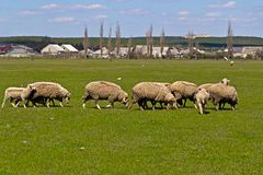 Flock of sheeps Royalty Free Stock Photos