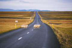 Flock of sheeps. Cross the road in Iceland Royalty Free Stock Photography