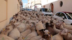 Flock of sheeps crowding the village streets at Saint anthony animals blessing day. A flock of sheeps walks the streets of the village before being blessed by a Stock Photography