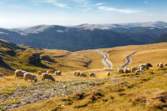 Flock of sheeps eating grass on top of the mountain Royalty Free Stock Photography