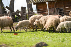 Flock of sheeps at farm eating fresh grass in the spring Royalty Free Stock Image