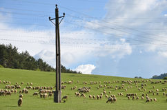 Flock of sheeps feed on grass on green meadow next to electric pillar Royalty Free Stock Images