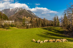 Flock Of Sheeps On The Field-Slovenia,Europe Royalty Free Stock Photography
