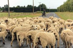 Flock of sheeps gathered on a road. A sheep looking front with a flock of sheeps gathered on a road. Taken with very shallow depth of field Royalty Free Stock Photos