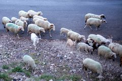 Flock of Sheeps and Goats Crossing the Dry Gravel Road. Herd of Domestic Mammal Walking along Countryside. Breed of royalty free stock images