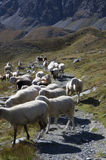 A flock of sheeps Royalty Free Stock Photos