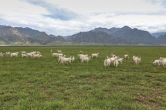 A flock of sheeps on grassland. Under the yinshan mountains in inner mongolia Royalty Free Stock Images