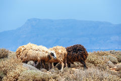 Flock of sheeps. Grazes on pasture Stock Images