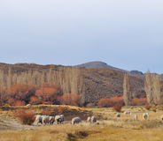 Flock of sheeps grazin at Patagonian Landscape Stock Photo