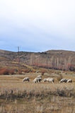 Flock of sheeps grazin at Patagonian Landscape Stock Photos