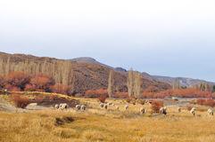 Flock of sheeps grazin at Patagonian Landscape Stock Images