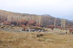 Flock of sheeps grazin at Patagonian Landscape Royalty Free Stock Image