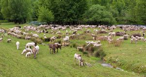 Flock of sheeps grazing in a hill Stock Photo