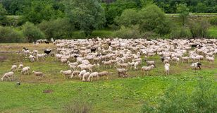 Flock of sheeps grazing in a hill Royalty Free Stock Images