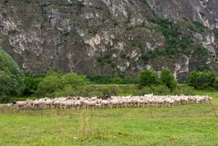Flock of sheeps grazing in a hill Royalty Free Stock Photo