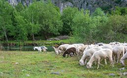 Flock of sheeps grazing in a hill Stock Photography