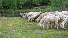 Flock of sheeps grazing in a hill Royalty Free Stock Photography