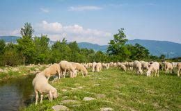 Flock of sheeps grazing in a hill at sunset Stock Photo