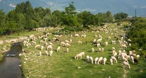 Flock of sheeps grazing in a hill at sunset Royalty Free Stock Images