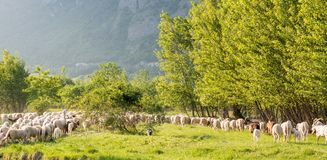 Flock of sheeps grazing in a hill at sunset Stock Photography