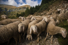 Flock of sheeps grazing in nature Royalty Free Stock Photos