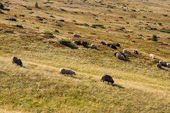 Flock of sheeps grazing on summer hills. Pasture background. Herd of lambs on carpathian mountains. Rural landscape. stock photo