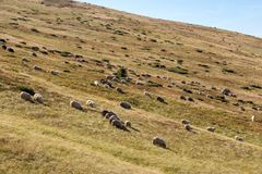 Flock of sheeps grazing on summer hills. Pasture background. Herd of lambs on carpathian mountains. Rural landscape. stock photography