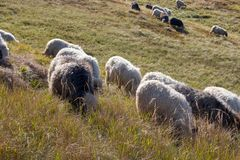 Flock of sheeps grazing on summer hills. Pasture background. Herd of lambs on carpathian mountains. Rural landscape. royalty free stock photography