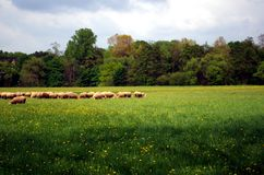 Flock of sheeps stock photography