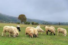 Flock of sheeps in a meadow on green grass. Ladik, Samsun in Turkey stock photos