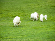 Flock of sheeps on the meadow. Nature background Royalty Free Stock Photos